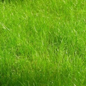 Семена многолетних трав